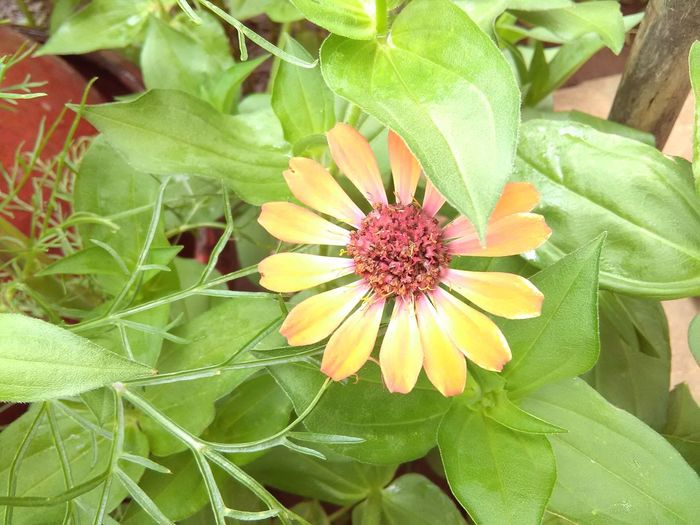 Flower Growth Plant Nature Leaf Fragility Flower Head Freshness Petal Beauty In Nature Day Outdoors No People Close-up Blooming Nature Oklahoma Nature Zinnia  Zinnias, Flowers Zinnia Plant Nature Zinniaflower Zinnia Flower Zinnias Zinnias In Bl Zinnia
