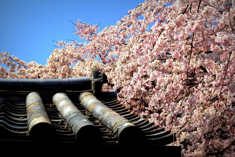 Low Angle View Of Pink Flowering Tree And Roof