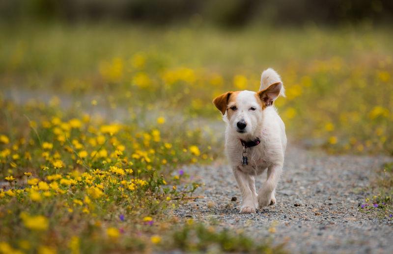 Dog Walking By Flowers
