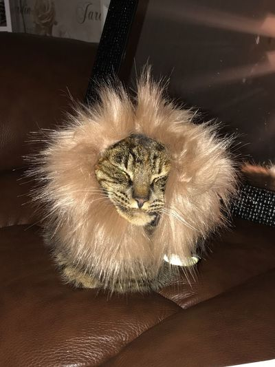 Little lion Indoors  Cat No People Animal Animal Themes Feline One Animal Domestic Cat Domestic Pets
