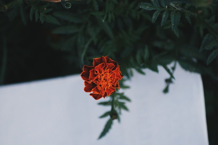 Flower Red Freshness Fragility Nature Close-up Beauty In Nature Flower Head Plant Petal Blossom Leaf No People Outdoors Day