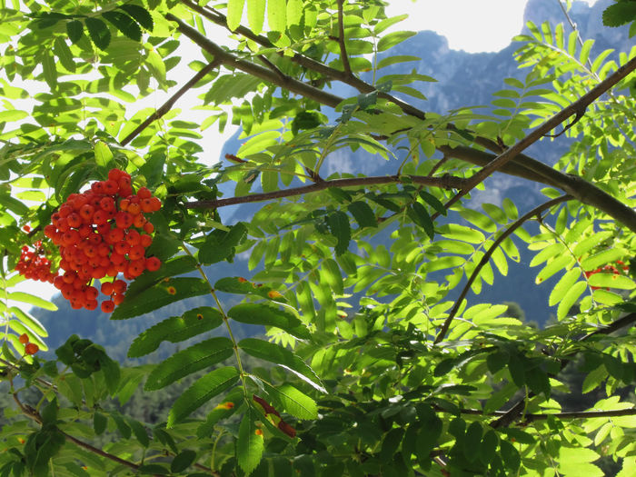 Mountain ash Sorbus Bush with red berries and Dolomites background. Fie allo Sciliar, South Tyrol, Italy Acidy Arboret Ash Ashberry Berries Berry Botanic Cranberrybush Dolomites Foliage Fruits Gardening Green Greenery Leaf Mountain Orange Organic Poisonus Red Ripe Rowan Rowanberry Sorbus Sour