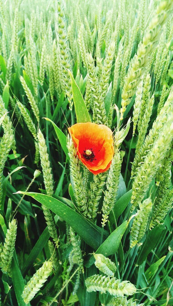 Orange Poppy On Grassy Field