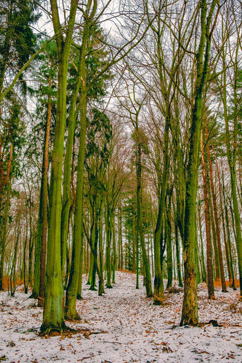 Forest corridor. [53/365] 2016.12.01 Cold Cold Temperature Corridor Day Forest Forest Photography Growth Landscape Nature No People Outdoors Scenics Seasons Tranquility Tree Tree Trunk Trees Vertical Winter