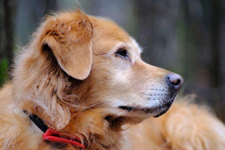 Dog EyeEm Selects Vintagelens Fujifilm Goldenretriever Pentacon135mm Hundeliebe