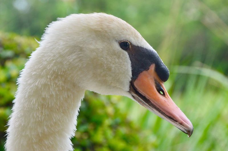Close-Up Of Mute Swan