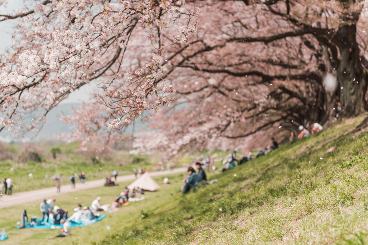 Kyoto, JAPAN - April 3, 2018: People enjoy seeing beautiful blooming cherry blossom at Yawatashi. Plant Tree Group Of People Real People Nature Day Leisure Activity Beauty In Nature Incidental People Men Growth Cherry Blossom Lifestyles Grass Blossom Land Women Park - Man Made Space People Medium Group Of People Springtime Cherry Tree Outdoors Hanami Tourism