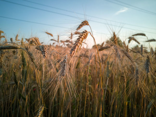 Picturesniper907 PhonePhotography Honor 10 AdobeLightroom EyeEm Selects Cereal Plant Rural Scene Agriculture Field Backgrounds Sky Close-up Plant Ear Of Wheat Cultivated Land Farmland Barley Wheat Agricultural Field