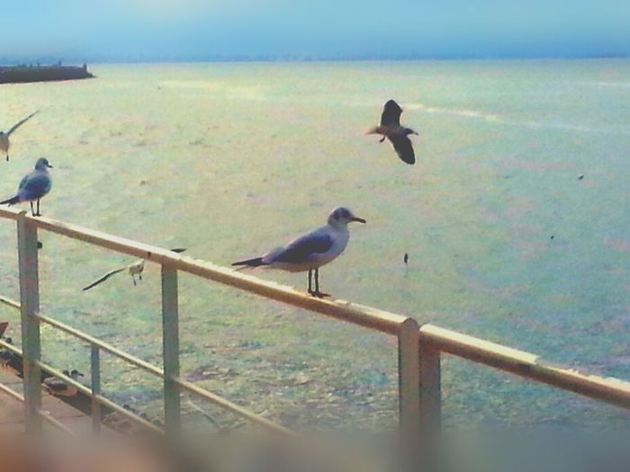 Seagull Water_collection My Edit Lisboa Portugal