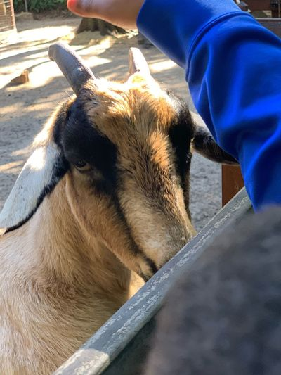 Goat EyeEm Selects Animal Animal Themes One Animal Mammal Vertebrate Domestic Animals Pets Domestic Sunlight Animal Body Part Day Animal Head  Animal Wildlife Close-up