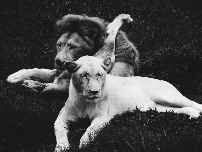 Lions lying on field