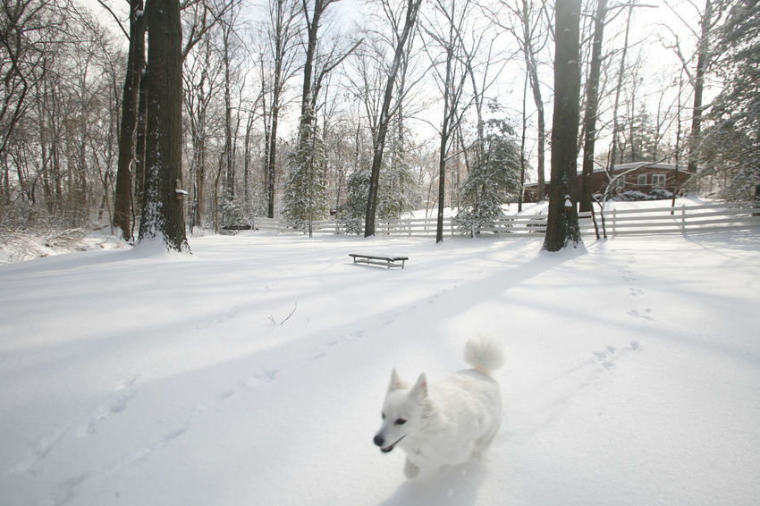 American Eskimo Dog Illinois Pets Running Snow White Dog Winter Winter Wonderland It's Cold Outside