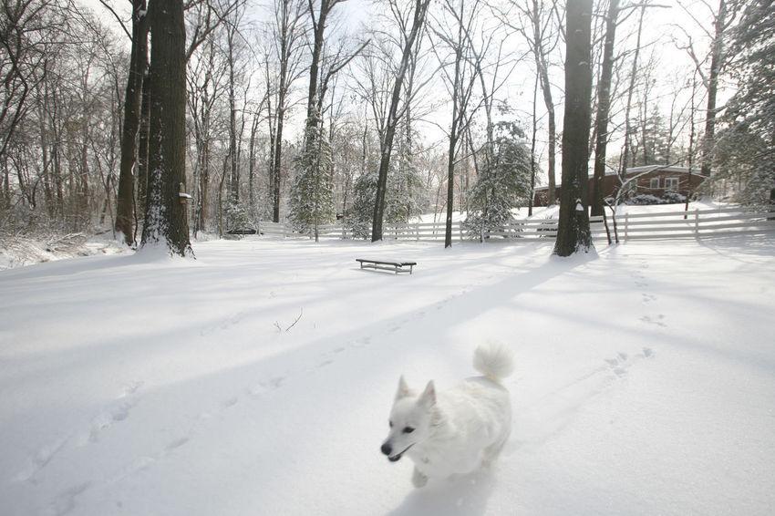 American Eskimo Dog Illinois Pets Running Snow White Dog Winter Winter Wonderland It's Cold Outside
