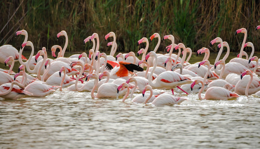 Side View Of Flamingoes In Water