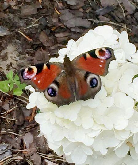 Pfauenauge... Pfauenauge Schmetterlinge Butterfly ❤ Hello World Daslebenistzukurzumtraurigzusein Taking Photos Summertime ♥ Insect Photography Sommer Sonne Sonnenschein ❤ Lovely Focus On Foreground Naturelovers