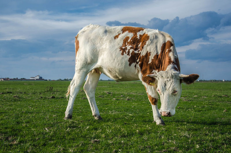 Cow On Grassy Field Against Cloudy Sky