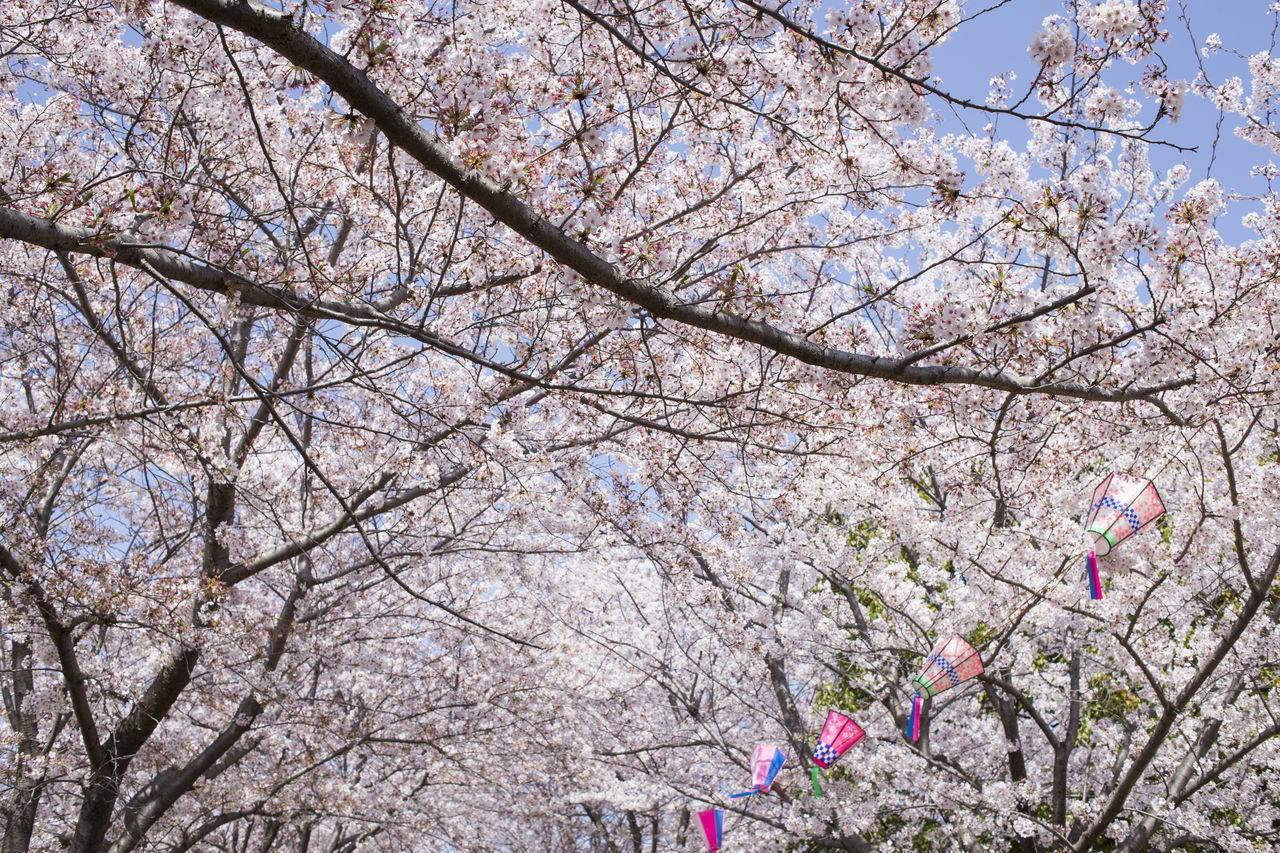 flower, flowering plant, blossom, tree, springtime, branch, fragility, low angle view, plant, vulnerability, growth, cherry blossom, nature, beauty in nature, day, sky, freshness, cherry tree, pink color, no people, outdoors, spring