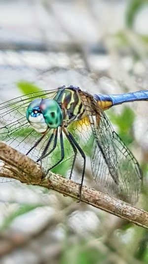 Damselfly Dragonfly Blue Dragonfly Close-up Nature Animal Wildlife Animal Themes Preditor Dragonfly Closeup Flying Insect Good Insect Macro Dragonfly Dragonfly Perched Beauty In Nature Eyes Macro Wings Insect One Animal Animals In The Wild Nature No People Day Focus On Foreground Outdoors