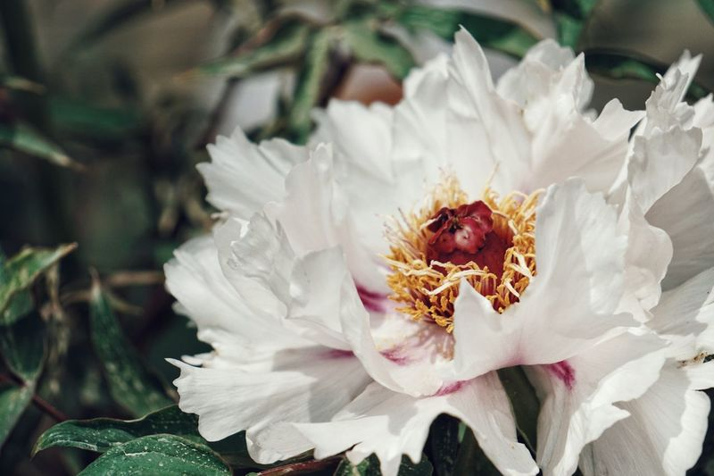 Flower Petal Flower Head Fragility Nature Plant Beauty In Nature Freshness Close-up Pollen Growth Uncultivated No People Outdoors Poppy Day Springtime Passion Flower