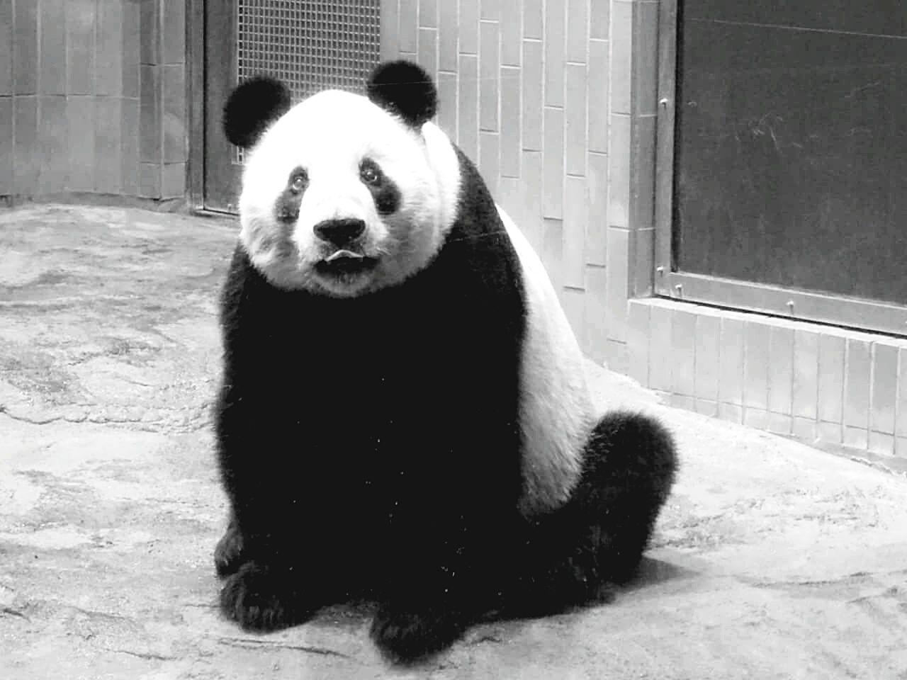 Portrait Of Panda At Ueno Zoo