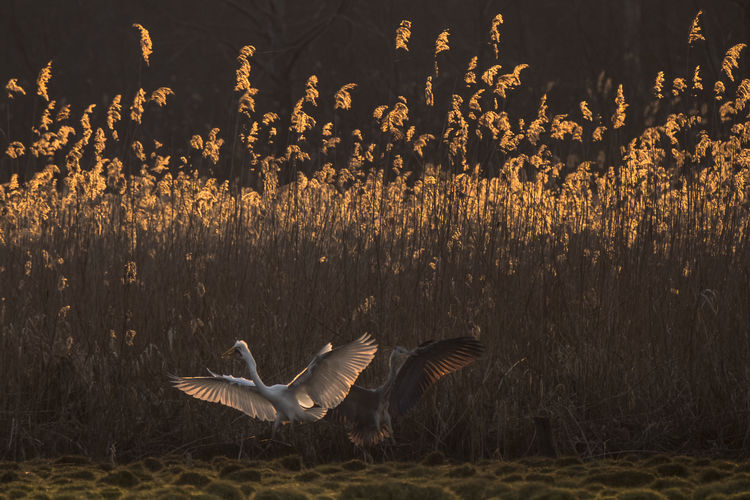 Egret defends his prey against Gray Heron. Fresh On Eyeem  Animal Themes Animal Wildlife Animals In The Wild Beauty In Nature Bird Contre Jour Day Egret Field Fighting Flying Frontlight Grass Gray Heron Motion Nature No People Outdoors Plant Reed Spread Wings Sunset Capture Tomorrow