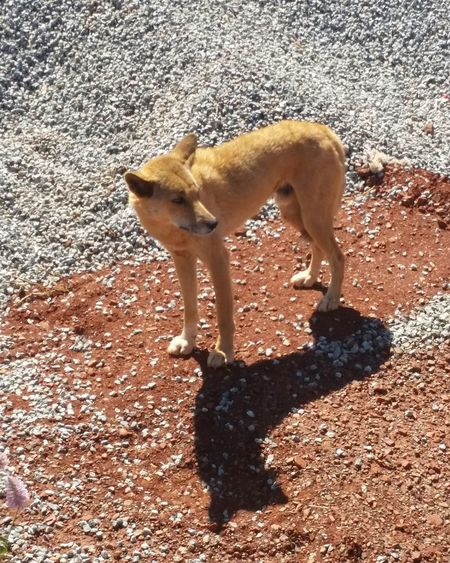 Dingo Animal Themes Animal Outdoors Close-up Shadow One Animal One Animal Animal Themes Dog Mammal Shadow Pets Walking High Angle View Zoology Vertebrate Sunlight Animal Loyalty Outdoors Pampered Pets Herbivorous Livestock Brown