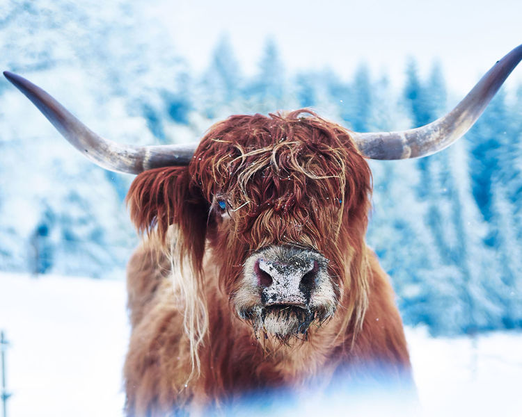 Scottish Cattle Animal Animal Hair Animal Head  Animal Themes Animal Wildlife Brown Cattle Cold Temperature Domestic Domestic Animals Hair Herbivorous Highland Cattle Horned Livestock Mammal Nature No People One Animal Pets Snow Snowcapped Mountain Vertebrate Winter