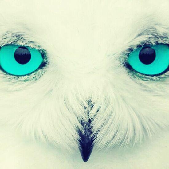 Eyes Owl Eulen Eule Pics By Mr_badabing Türkis