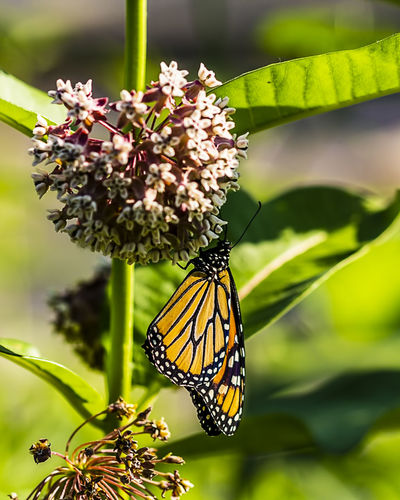 A monarch butterfly pollinating a milkweed. Pretty Serenity Pattern Monarch Butterfly Tranquility Striking Fashion Beautiful Stunning Colorful Insect Wildlife Entomology Butterflies Danaus Plexippus Milkweed Butterfly Flower Flowering Plant Animal Wildlife Animal Themes Butterfly - Insect Pollination Outdoors Nature Vulnerability  Flower Head Freshness Animal Wing Fragility