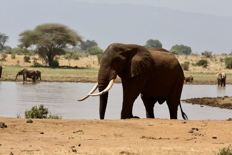 Elephant standing by trees on landscape against sky