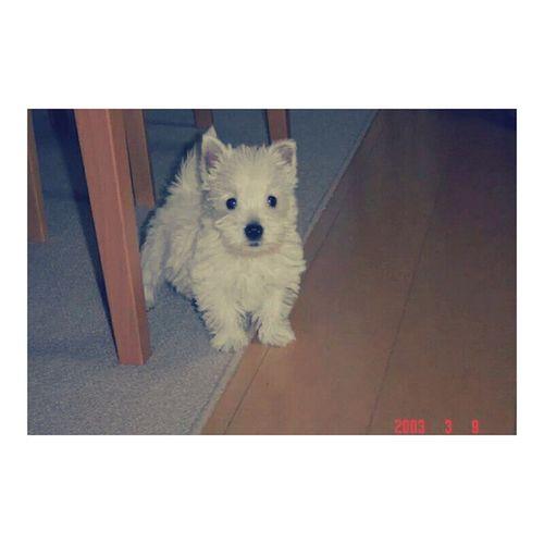 TBT  to my lovely dog Snowy 🐶💕 去年の年末に腫瘍が見つかって余命1週間と宣告されてから、ほぼ1年が経ちました。 あんなに心配させて 高橋家を悲しみのどん底に落としといて なんなんだこやつは。不死身かな。 これからもよろしくね、スノ ちゃん SoBlessed Instadog Westie Westylove Puppy Westiegram ウエスティー 犬ばか 犬 いぬ