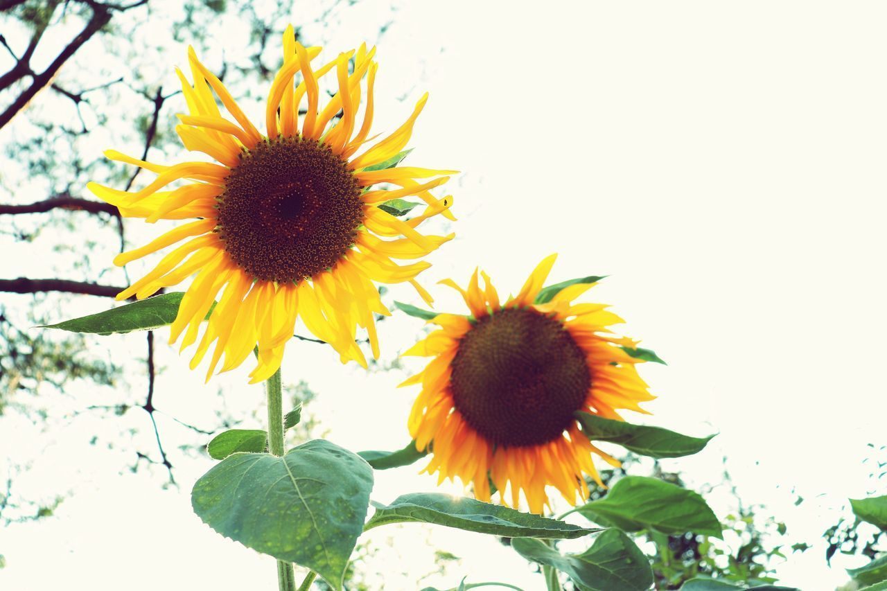 vulnerability, flowering plant, fragility, flower, plant, petal, flower head, inflorescence, yellow, freshness, growth, beauty in nature, nature, sunflower, close-up, pollen, sky, plant part, leaf, day, no people, outdoors, sepal
