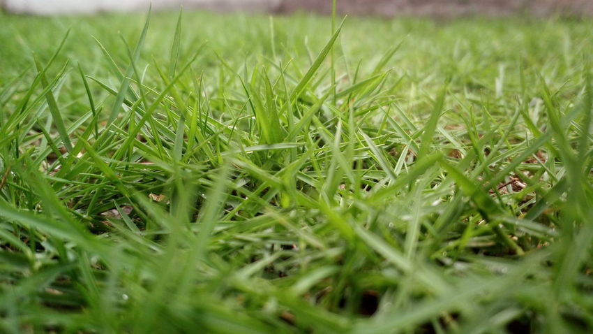 Plantae Series Growth Grass Green Color Outdoors No People Nature Field Tranquility Agriculture Beauty In Nature Rural Scene Day Close-up