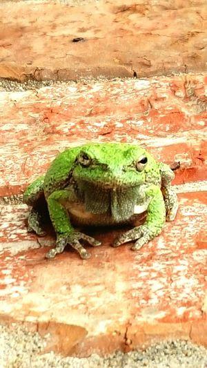 Frog Treefrog