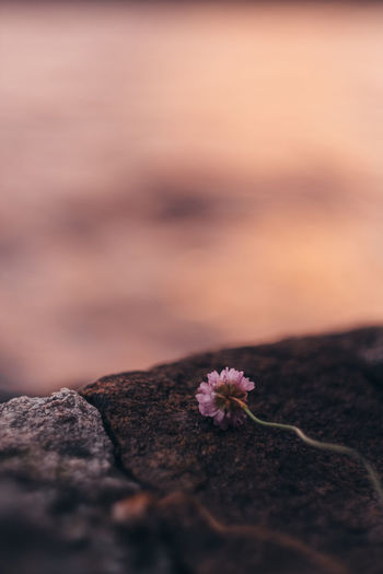 Wilted Flower On Rock