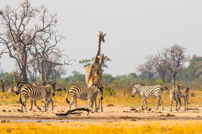 Animal Wildlife Animal Themes Animals In The Wild Mammal Group Of Animals Zebra Vertebrate Nature Safari No People Clear Sky Tree Outdoors Drinking Hwange National Park Wildlife & Nature Wildlife Photography Giraffe