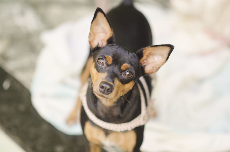 Pets Domestic One Animal Domestic Animals Mammal Dog Canine Focus On Foreground Looking At Camera Portrait Vertebrate Day High Angle View Small No People Animal Body Part Collar Chihuahua - Dog