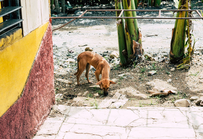 Stray dog in Cuba searching for food Bones Cuba Hungry Scraps Food Stray Dog Canine Dog Emaciated Famished Friendly Looking For Food Mammal Pet Ribs Sad Scavenger Scraps Searching For Food Sniffing Starved Street Thin Third World EyeEmNewHere EyeEmNewHere