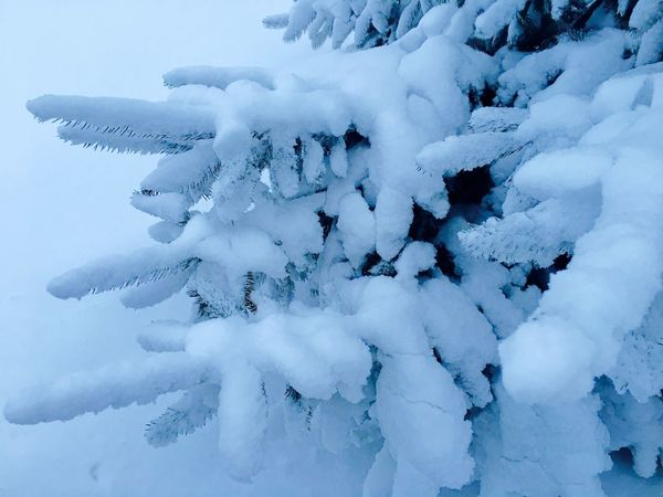 Snow Covered Snow ❄ Snow Snowy Trees Natural Beauty Naturelovers Winter Winterwonderland Winter Trees Ice Age Wintertime Winter Photography Snow Covered Branch Spruce Tree