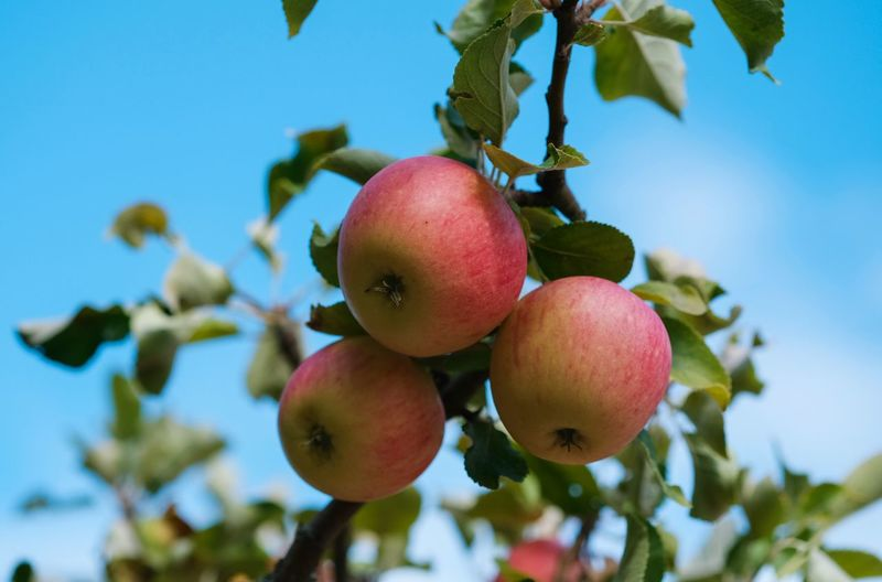 Apfelernte Apple - Fruit Apple Tree Close-up Day Focus On Foreground Food Food And Drink Freshness Fruit Fruit Tree Growth Healthy Eating Leaf Nature No People Outdoors Plant Plant Part Ripe Sky Tree Wellbeing äpfel Am Baum
