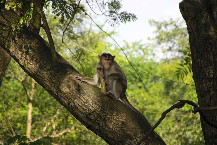 A monkey sitting on a tree in Sanjay Gandhi National Park forest located in Mumbai, India Animals In The Wild Rhesus Macaque Wildlife & Nature Wildlife Photography Animal Animal Themes Animal Wildlife Animals Animals In The Wild Branch Day Focus On Foreground Forest Mammal Monkey Nature Outdoors Plant Primate Sitting Tree Tree Trunk Trunk Vertebrate Wildlife