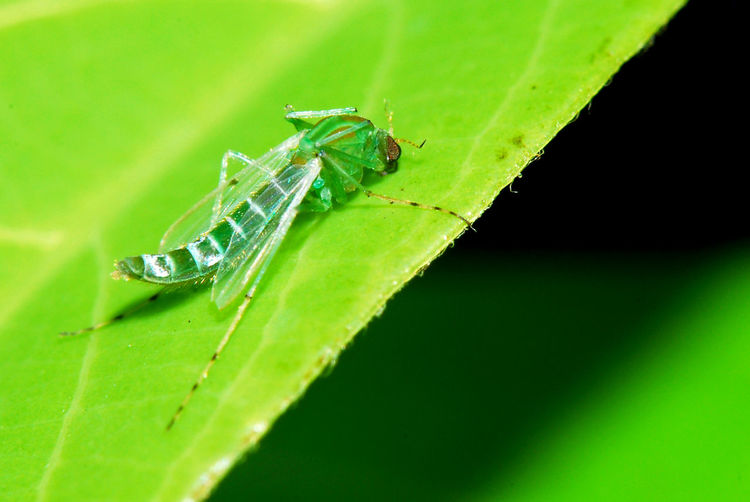 Animal Themes Animal Wildlife Animals In The Wild Close-up Damselfly Day Green Color Insect Leaf Mayfly Nature No People One Animal Outdoors Plant Tiny Creature