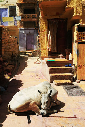 Cow Resting In Alley Against House At Village In Rajasthan
