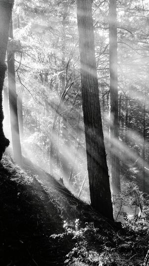 Sunlight Day Nature Tree Forest No People Outdoors Shadow Tree Trunk Beauty In Nature Close-up Black And White Black And White Photography Forest Photography Forest Trees WoodLand Landscape Sun Rays Filtered Light Unique Perspectives EyeEm Best Shots - Landscape California Fog Foggy Morning Smoke