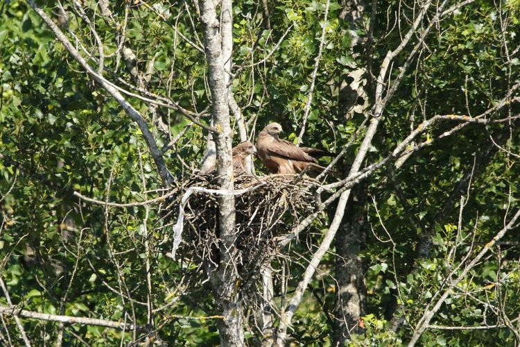 Animal Beauty In Nature Bird Family Milvus Migrans Nature Nest Tree