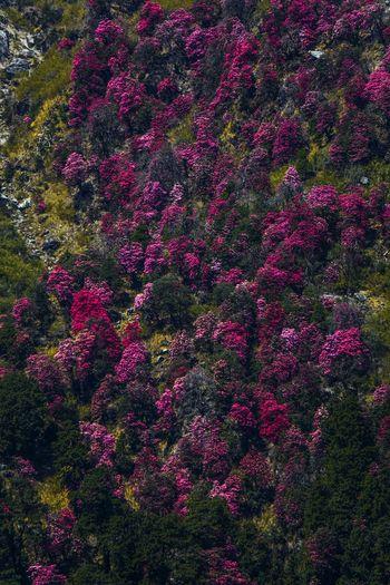 Full frame shot of pink flowering trees in forest