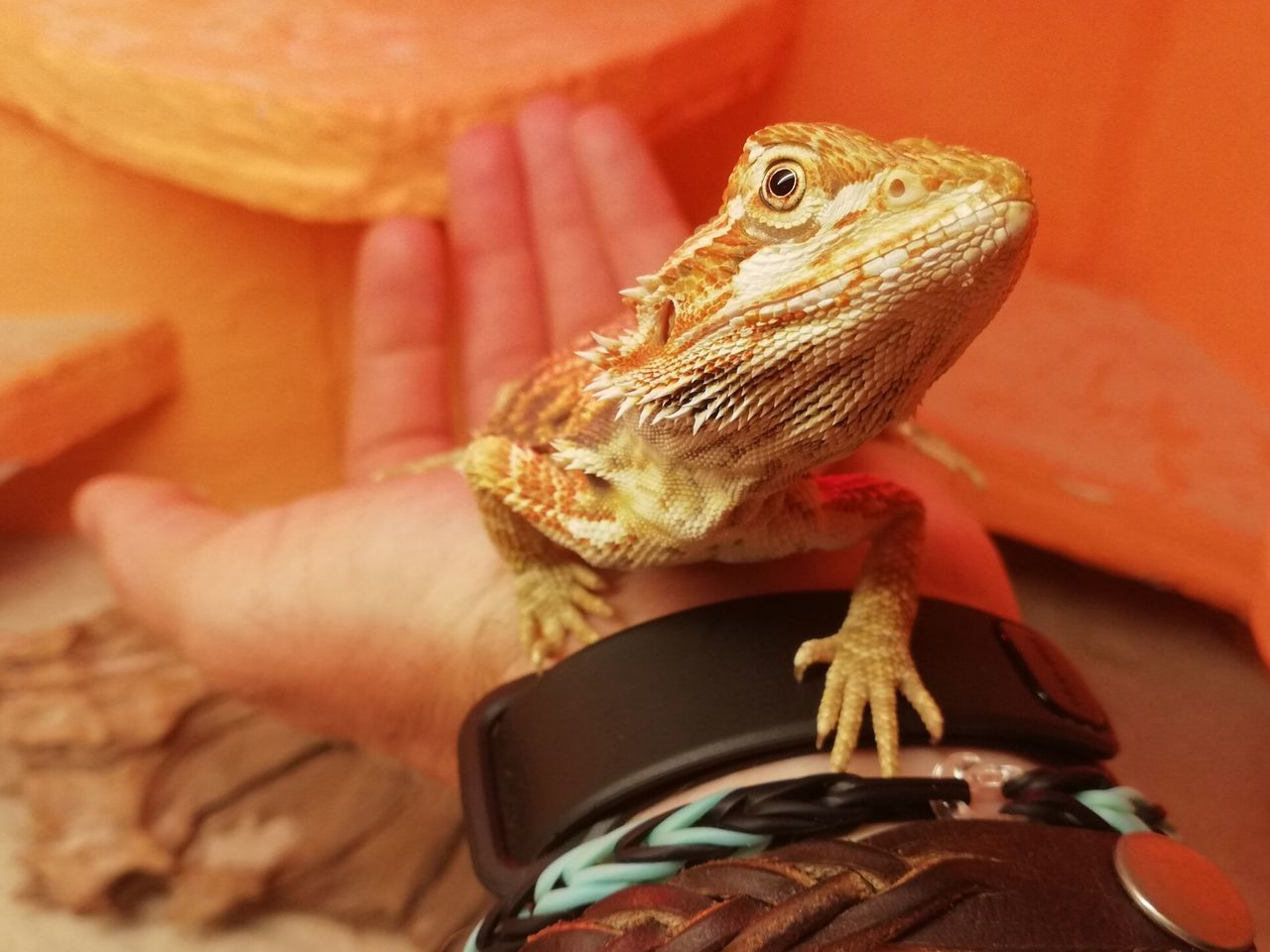 one animal, vertebrate, animal wildlife, one person, reptile, human hand, lizard, hand, human body part, animals in the wild, real people, holding, close-up, unrecognizable person, lifestyles, pets, finger, body part, animal scale