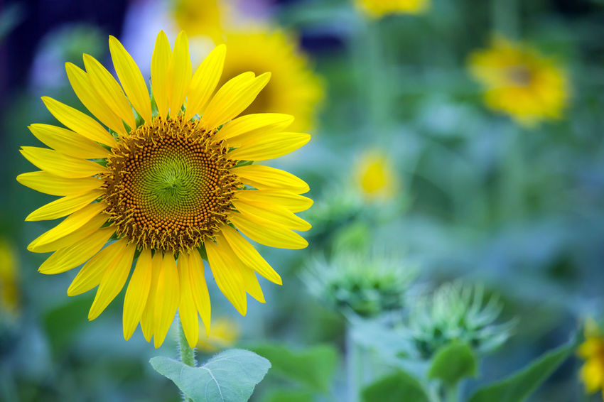Beautiful sunflowers blooming in the garden Beauty In Nature Blooming Botany Close-up Day First Eyeem Photo Flower Flower Head Flowers Focus On Foreground Fragility Freshness Green Growth In Bloom Nature No People Outdoors Petal Plant Pollen Selective Focus Sunflower Sunflowers Yellow