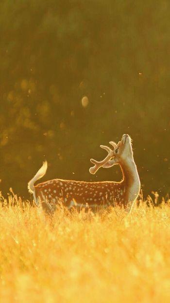 43 Golden Moments Beauty In Nature Sunset Nature The golden deer💛
