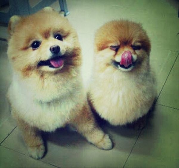 me want this pomeranian puppies. >.< Puppies Cute Dogs Taking Photos